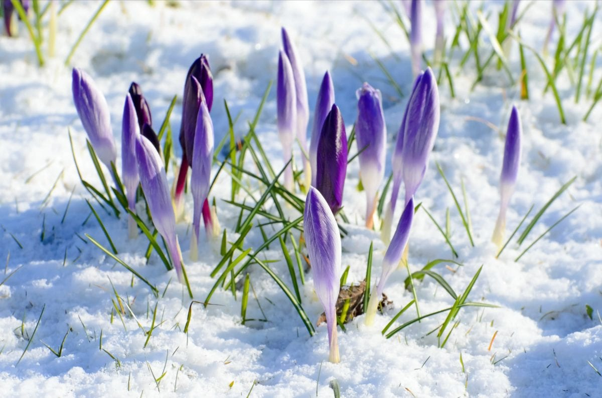 spring purple flow snow