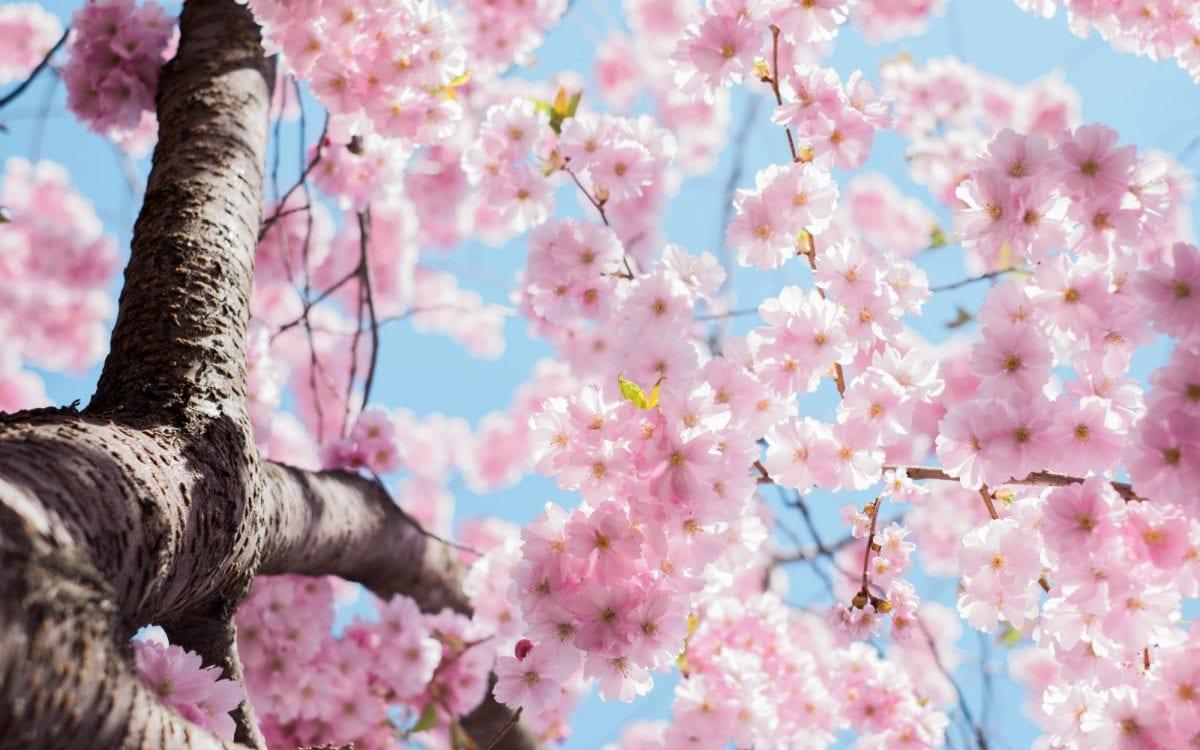 Cherry Blossoms Spring